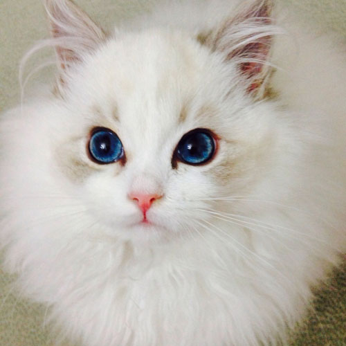 Blue-Eyed-Cat